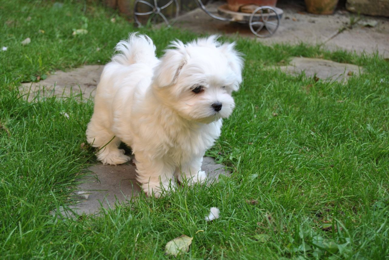 Awesome T-Cup Maltese Puppies Available | CatchFree