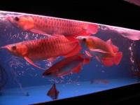 Super red arowana Asian red Leichardti Arowana