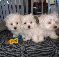 Kc Maltese Puppies ready to leave.