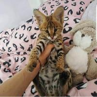 Male and Female Serval Kittens