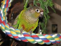 Green Cheek Conure Available with Cage on ads canada