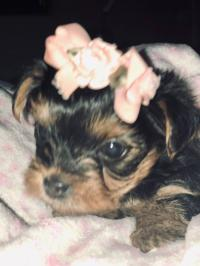 Adorable teacup Yorkshire Terrier for rehoming