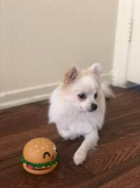 12 week old Playful Pomeranian PupPy