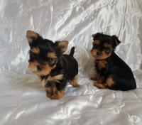 Available - Yorkshire Terrier for sale