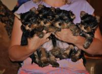 Sweet Teacup Yorkie puppies