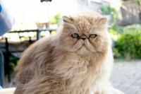 MISSING PERSIAN CAT on free online classifieds in canada