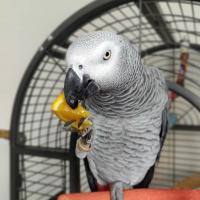 My Talking African Grey parrot for sale