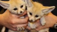Healthy Usda Licensed Fennec Fox Babies Available