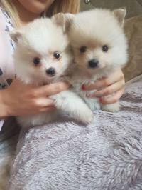 Tiny Snowwhite Teacup Pomeranian Puppies Available