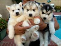 Cute and Adorable Siberian husky Puppies for free available