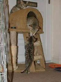 Ocelot , Caracal and Serval Kittens for Sale