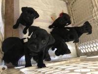 Adorable Lab puppies Need great homes