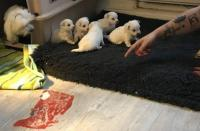 Two Teacup Maltese Puppies Needs A New Family   (856) 500-3160