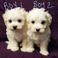 Adorable teddy bear face Maltipoo puppies
