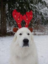SnowBall- Great Pyrenees