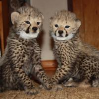 cheetah cubs  for rehoming