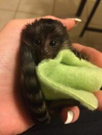 Most ever home raised intelligent Finger Marmoset Monkeys