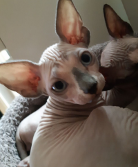 Male and Female Sphynx kittens for sell
