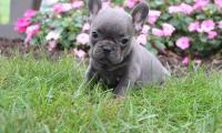 Well Trained French Bulldog Puppies for sale now.