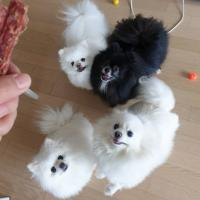Adorable pomeranian puppies for adoption