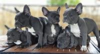 AKC Registered Blue French Bulldog puppies Text Us At (503) x 389 x 3196 )