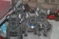 AKC Blue French Bulldog puppies Text Us At (503) x 389 x 3196 )