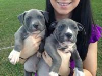 Ckc Blue Nose American Pitbull Terrier Puppies