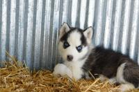 HEALTHY SIBERIAN HUSKY PUPPIES FOR ADOPTION