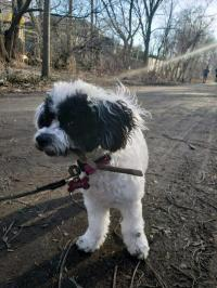 Wanted: Missing Dog Shih tzu-poodle female 7months old