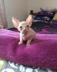 Healthy Sphynx Kittens For Sale