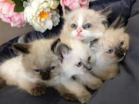 Cute Ragdoll kittens for sale.