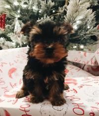 Yorkshire terrier puppies available for sale