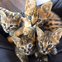 African Serval and F1 Savannah Kittens