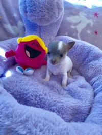 Tea Cup Chihuahua puppy (662) 468-8653