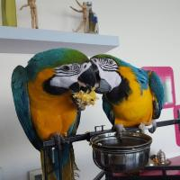 Adorable Male and a Female Blue and Gold Macaw parrots