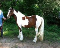TRAINED GYPSY VANNER HORSE